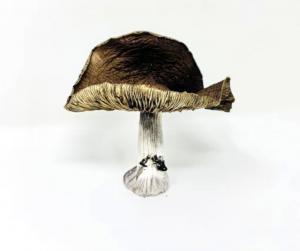 magic mushrooms B+ mushrooms psilocybe